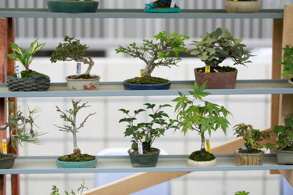 The Best Indoor Bonsai Tree Varieties And Caring For Indoor Bonsai Tre The Bonsai Tool Supply Company Of Canada