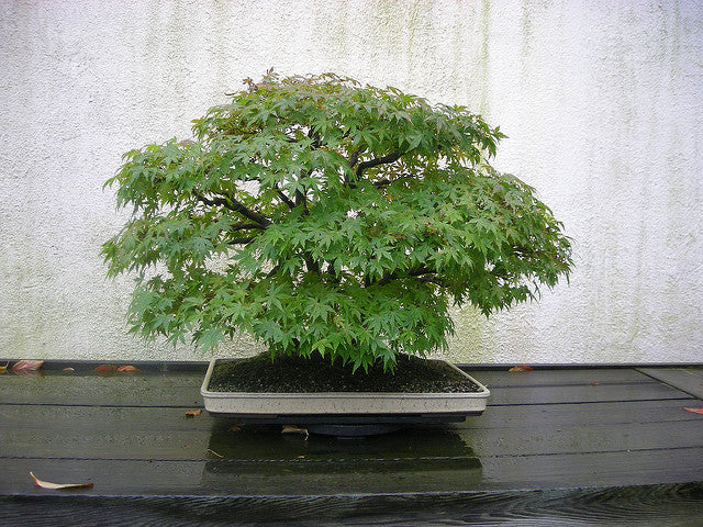 Japan Green Maple Acer Palmatum Bonsai Seeds The Bonsai Tool