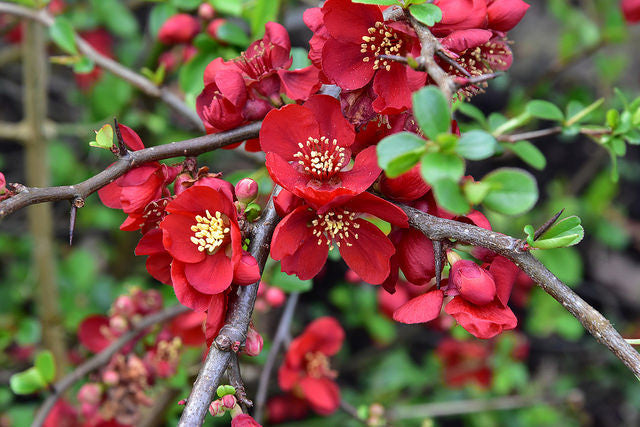 Japanese Quince (Chaenomeles Japonica) Bonsai Seeds