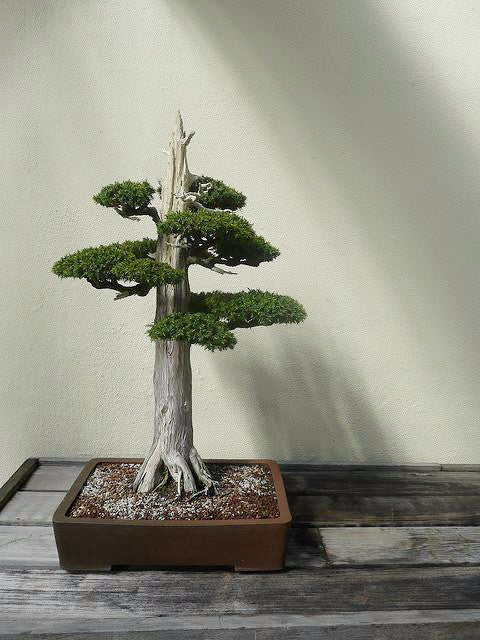 cedar bonsai tree seeds