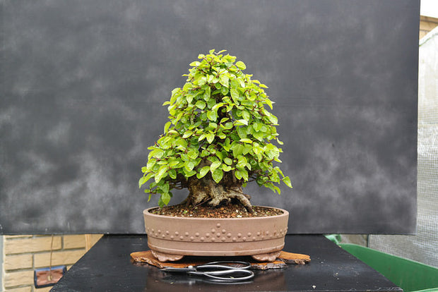 Korean Hornbeam Bonsai Tree Seeds