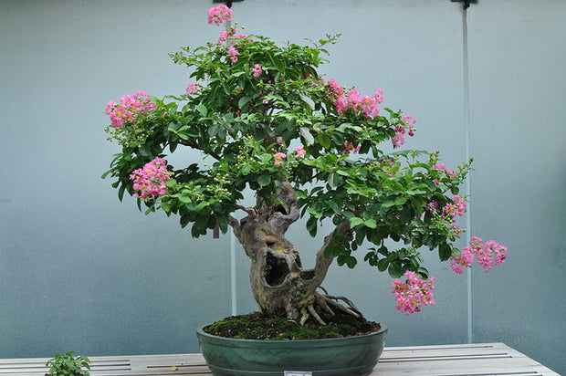 Flowering Crepe Myrtle Bonsai Tree Seeds