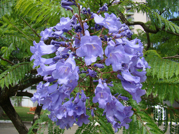 Purple Flower Jacaranda (Jacaranda Mimosifolia) Bonsai Seeds