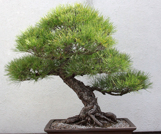 Japan Black Pine (Pinus Thunbergii) Bonsai Seeds for sale Canada