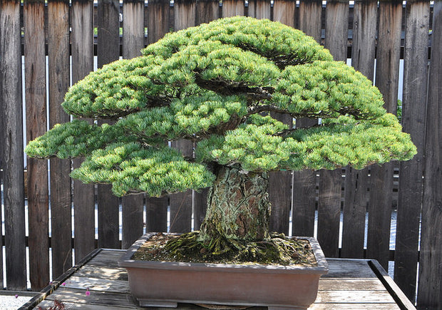 Japan White Pine Bonsai Tree Seeds for sale in Canada