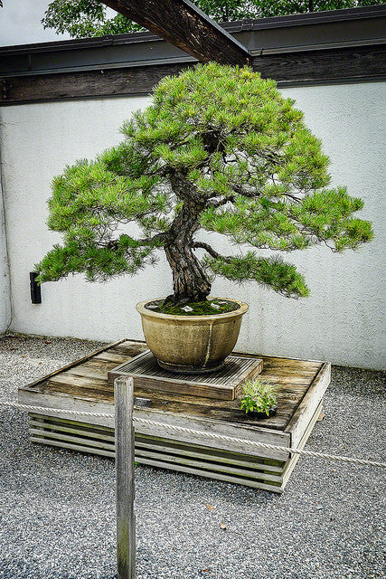Japanese Red Pine Bonsai Tree Seeds