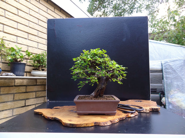 Chinese Elm (Ulmus Parvifolia) Bonsai Seeds