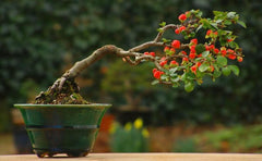 The Best Indoor Bonsai Tree Varieties and Caring for Indoor