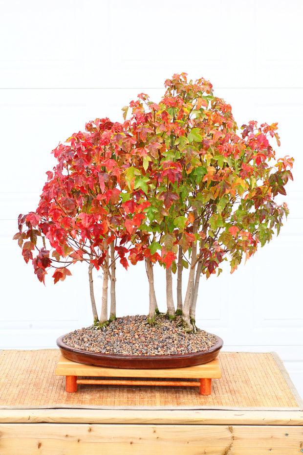 Trident Maple Bonsai Seeds for Sale Canada