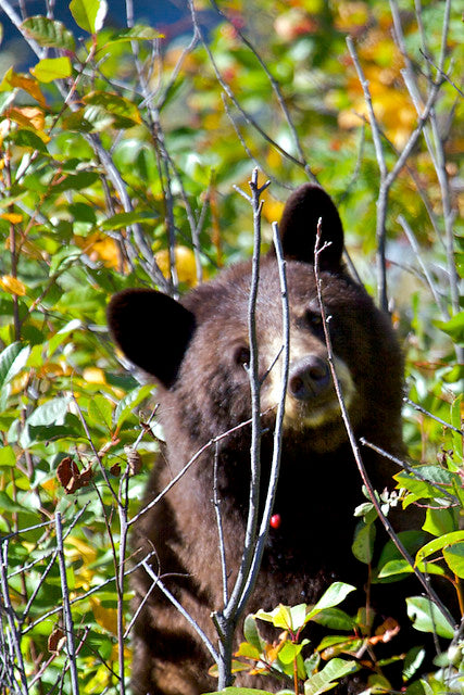 Bear Eating Huckleberries