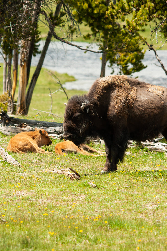 Bison and Red Dogs