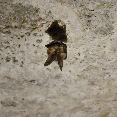 Lewis and Clark Caverns State Park in Whitehall Montana, Townsend Long-eared Bat at Montana Gift Corral