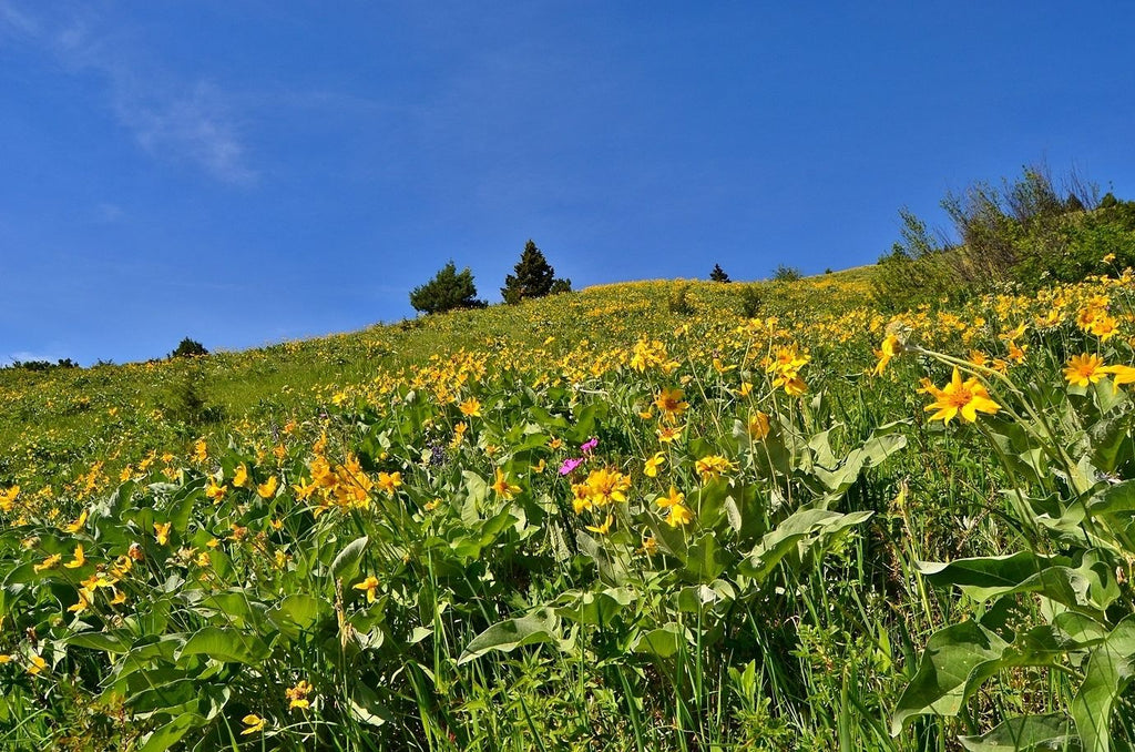 Best Hikes to Spot Spring Wildflowers in Bozeman, Montana