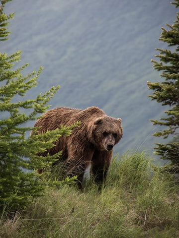 Grizzly Bear - 5 Iconic Montana Animals