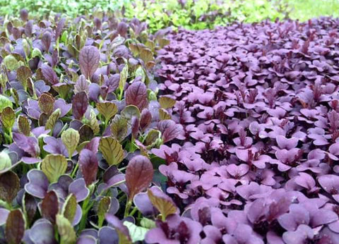 rooted farm micro greens
