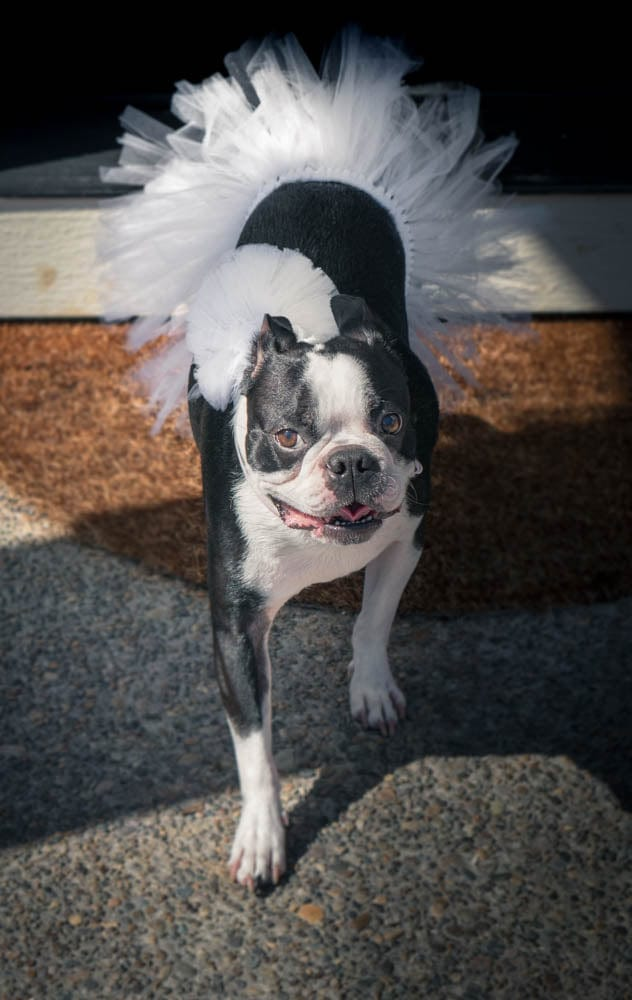 White Bridal Pet ( Dog and Cat ) Tutu with Pom Pom By Tutu Jólí