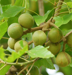 kukui nut oil Hawaii