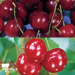 Bare rooted -  2 Way Cherry 'Minnie Royal & Minnie Lee' PRE- PURCHASE