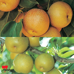 2 Way Nashi Pear 'Nijisseiki & Shinsui' 45 Litre