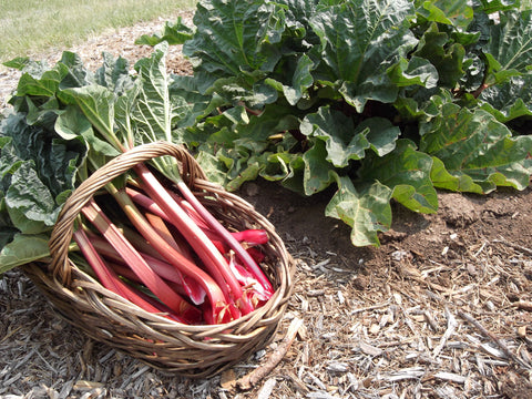 Rhubarb crown - Ever red Potted