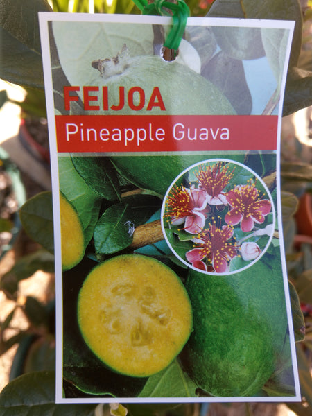 Feijoa - Pineapple Guava 200ml pot