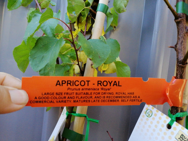 Apricot - Royal 6 Litre