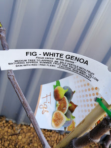 Fig - white genoa 4 L