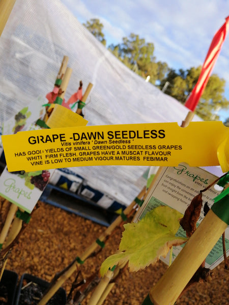 Grape - Dawn seedless