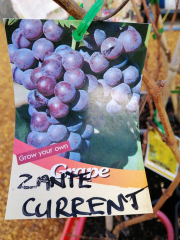 Grape - Zante Currant