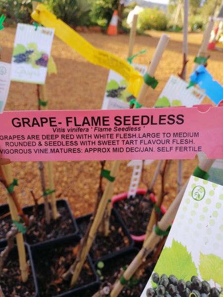 Grape - Flame seedless