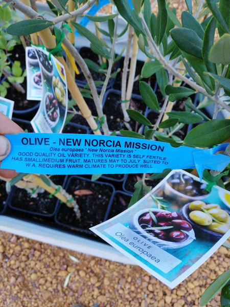Olive - New norcia mission 4 L