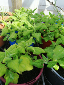 Warrigal Greens 14cm pot