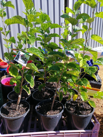 Dwarf Mulberry tree 4 L pot