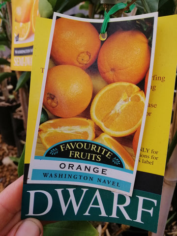 Orange - 'Washington Navel' Dwarf 4L/Starter size