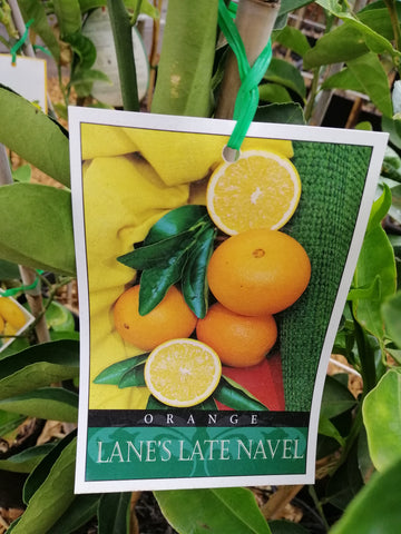 Orange - 'Lanes late navel'  4 L/Starter size