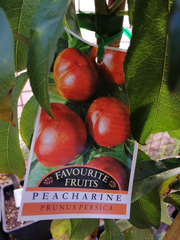 Peacherine 6 L