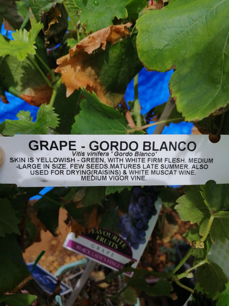 Grape-Gordo Blanco