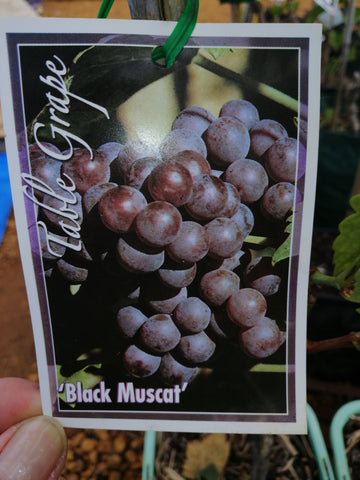 Grape-Black Muscat