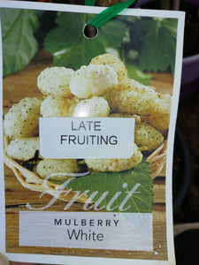 Mulberry White 200 mm pot - Late Fruiting