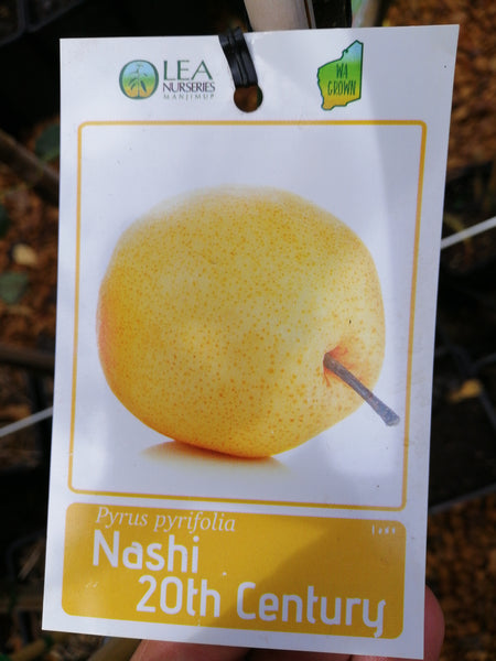 Nashi Pear - 20th Century