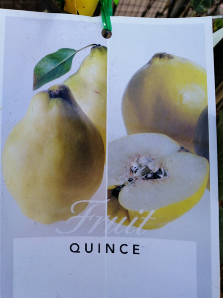 Quince - Pineapple