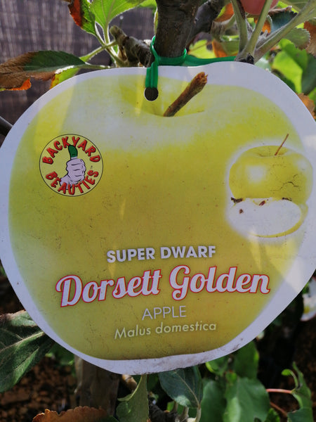 Apple-Super Dwarf Dorset Golden 6L