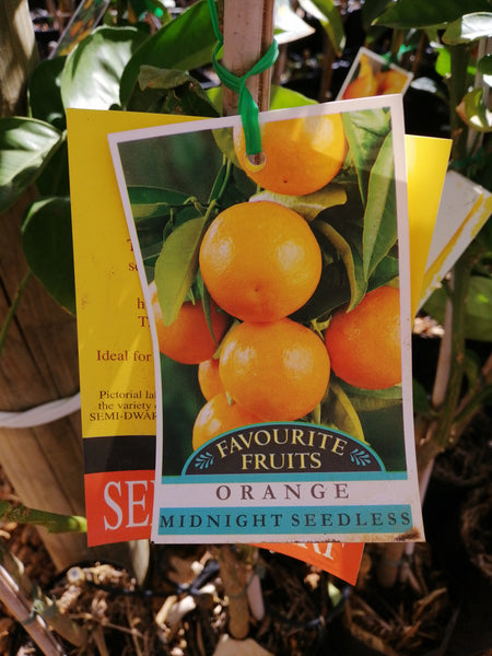 Orange - 'Midnight seedless' Semi Dwarf  4 L/Starter size