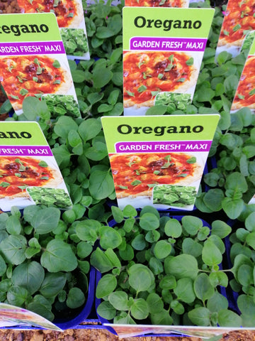 Pot -Oregano