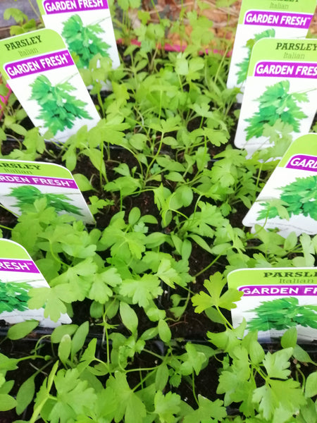 Punnet Parsley - Italian