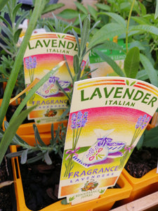 Lavender -Italian 650 ml pot