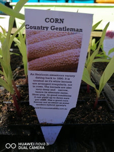 Punnet Corn -Country Gentleman