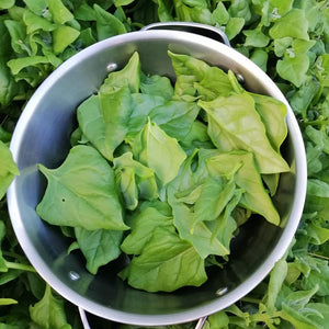Warrigal Greens / NZ Spinach