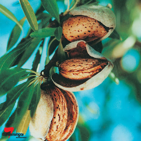 Bare rooted Almond-  All-in-One cv.'Zaione' PRE PURCHASE