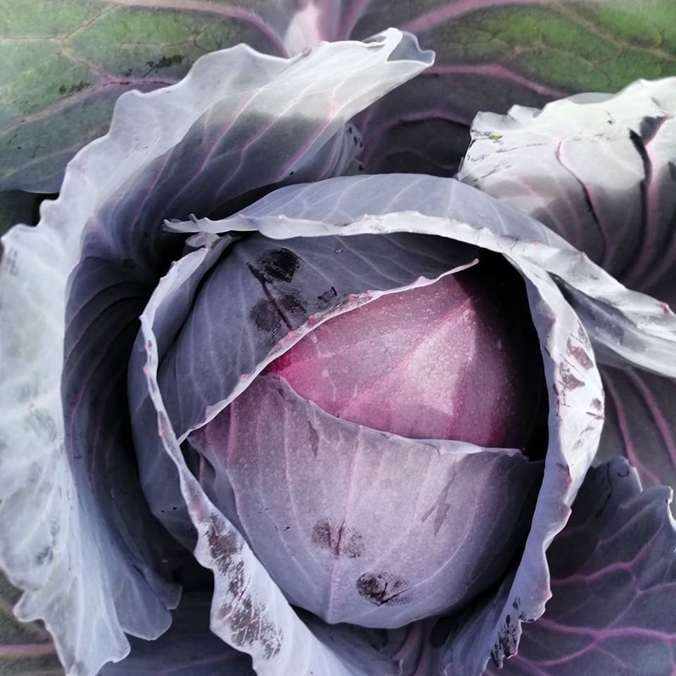 Cabbage - Red Express Seed Packet